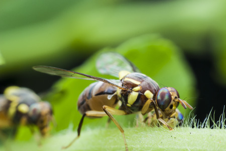 abdomen yellow jacket: macro wasp of the garden Stock Photo