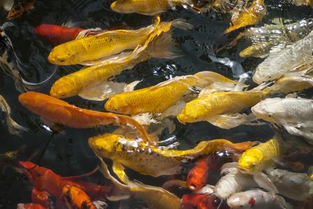 escamas de peces: Los pescados del koi Foto de archivo