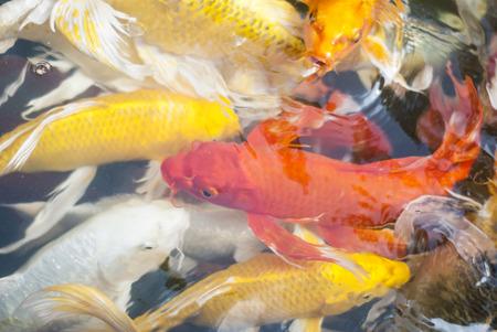 koi fish: Koi fish Stock Photo