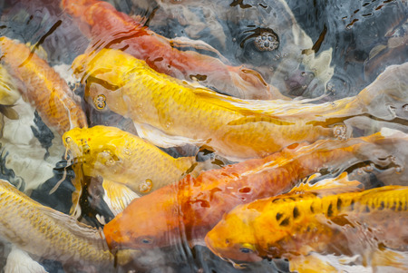 colorful fishes , Japanese carp swimming. photo