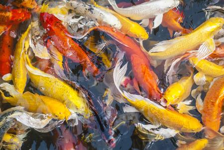 Koi fish photo