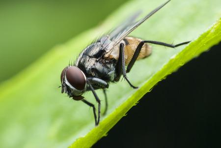 entomology: macro fly Stock Photo