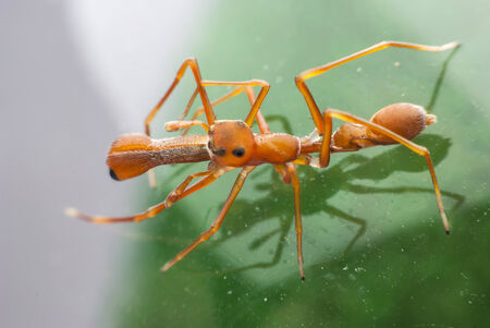 mimic: Red Ant Mimic Spider