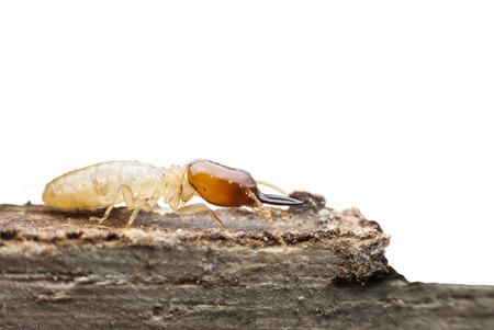 Termite Makro auf Holz zersetzenden Standard-Bild - 33187429