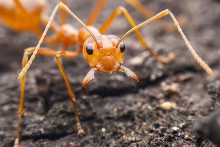 Red ant macro