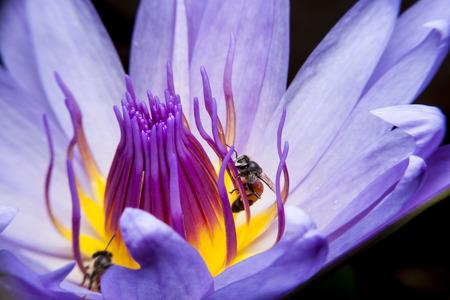 Bienen und schöne Lotus. Standard-Bild - 43382520