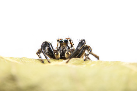 arachnoid: Jumping spiders on dry leaf top with white background. Stock Photo