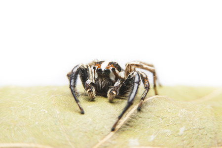 dry leaf: Jumping spiders on dry leaf top with white background. Stock Photo