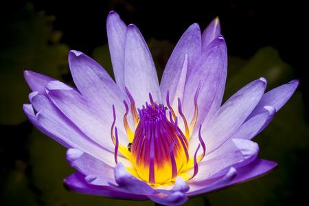 flor de loto: Hermosa flor de loto o nen�far. Foto de archivo
