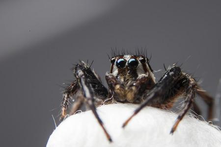 arachnoid: Jumping spiders Stock Photo