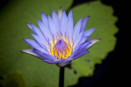 waterlily: Beautiful lotus flower or waterlily.