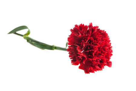Red carnation on white background.