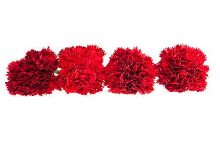 red  carnation: Red carnation on white background.