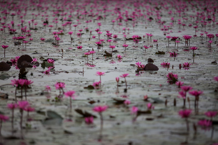 unseen: Red Lotus lake unseen in Udon Thani, Thailand Stock Photo