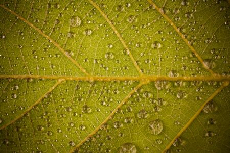 water on leaf: Water droplets on a yellow leaf.