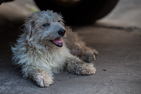 defecate: Very old dog, Blind, Teeth out of the mouth Stock Photo