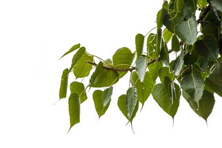 peepal tree: Leaves bodhi tree on a rainy day.