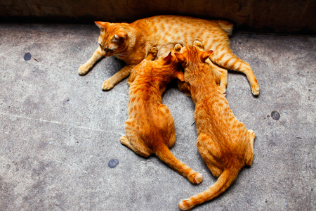 breastfeed: Cat breastfeed 2 kitten, Mother cat and kittens during lactation. Stock Photo