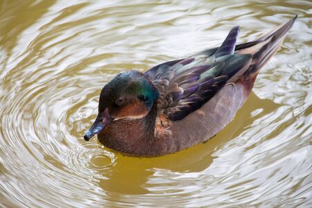Duck slowly floating on the pond. Foto de archivo