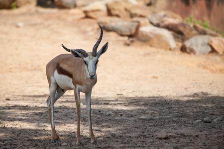 springbok: Springbok antelopes in the zoo.(Antidorcas marsupialis)
