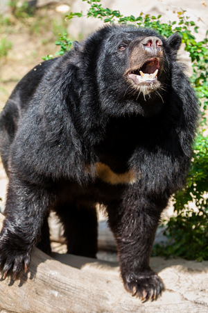 Asian great black bear. Stock Photo