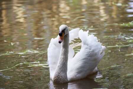 white swan slowly floating on the canal. Stock Photo