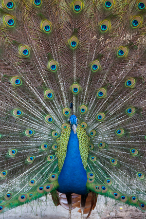 fanned: Peacock showing fully fanned tail.