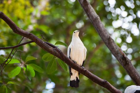 beak pigeon: Pied Imperial Pigeon (Ducula bicolor)