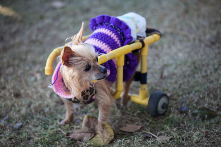 Disabled dog ride in a wheelchair.