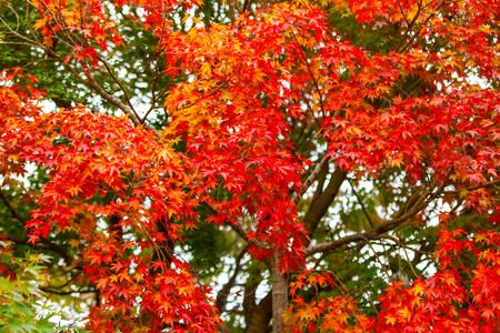 Autumn leaves a beautiful colorful tree. Standard-Bild - 114449711