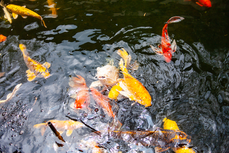 Beautiful colorful koi fish. Stock Photo