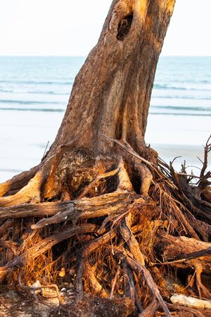 Tree roots on the beach.