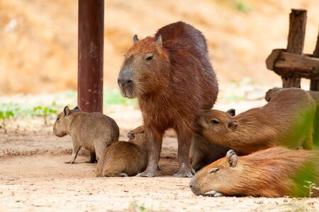 Capybara, Hydrochoerus hydrochaeris, the largest toothed rodent.