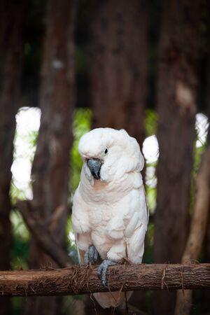 Large cockatoo, relatively large white cockatoo.