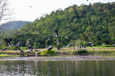 Asian openbill or Asian openbill stork on trees in the nature.