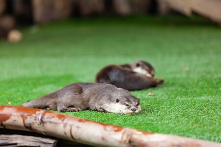 oriental small-clawed otter, Asian small-clawed otter. 写真素材