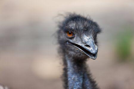 An Emu bird, Dromaius novaehollandiae.