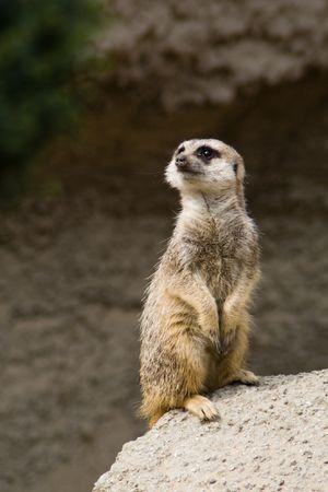 suricate: Curious standing suricate on alert