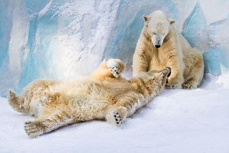 mammalia: Happy family of polar bears in the zoo