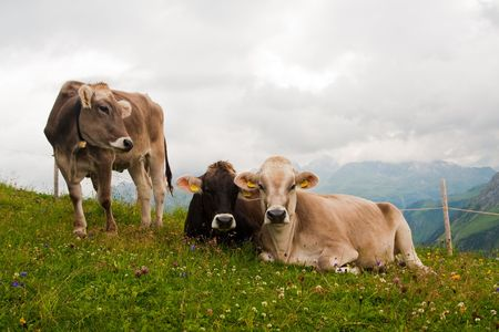 Group of alpine cows looking at camera. Austrian Alps photo