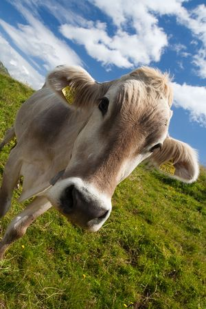 Alpine cow on a green meadow. Very close view photo