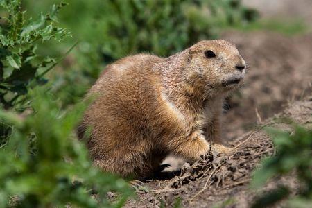 草原犬の避難所の外を見てします。これらの動物は北アメリカの草原へのネイティブ 写真素材