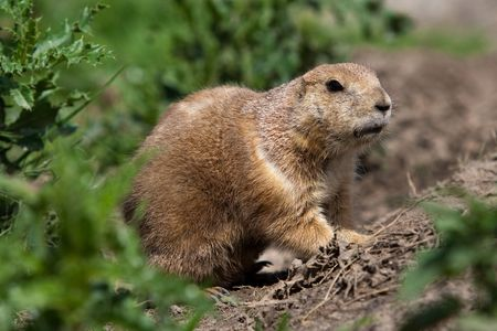 Prarie dog looking out of its shelter. These animals native to the grasslands of North America photo