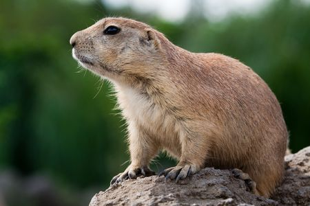 Prarie dog sitting on the ground and looking around. These animals native to the grasslands of North America Stock Photo - 5556109