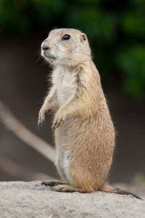 Prarie dog standing and looking around. These animals native to the grasslands of North America photo