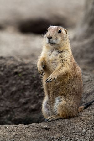 Prarie dog standing next to its hole. These animals native to the grasslands of North America photo
