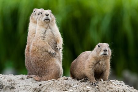 animals in the wild: Group of prarie dogs looking around. These animals native to the grasslands of North America Stock Photo