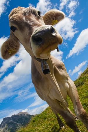 Alpine cow on a green meadow. Very close view Stock Photo - 5681308