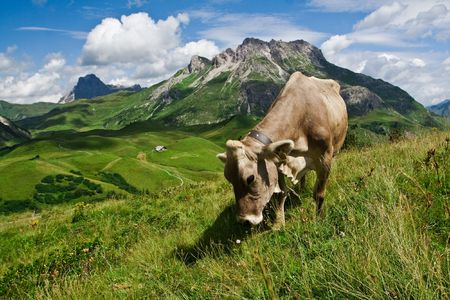 Alpine cow eating on a green meadow. Close view photo