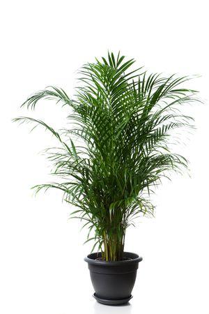 houseplants: Home plant in flowerpot - Chrysalidocarpus Areca Stock Photo
